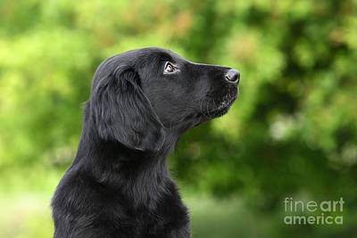 Photograph - Portrait Head Black Flat Coated Retriever Puppy by Dog Photos