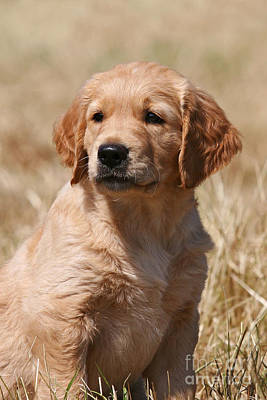 Photograph - Portrait Head Golden Retriever Puppy by Dog Photos