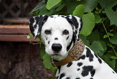 Dalmatian Photograph - Portrait Headshot Of A Dalmatian Sitting by Zandria Muench Beraldo