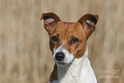 Photograph - Portrait Jack Russell Terrier Dog by Dog Photos