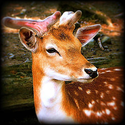 Portrait Male Fallow Deer Art Print