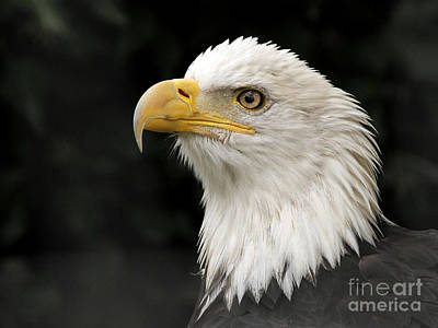 Art Print featuring the photograph Portrait Of A Bald Eagle by Inge Riis McDonald