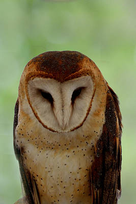 Photograph - Portrait Of A Barn Owl by Kathleen Stephens