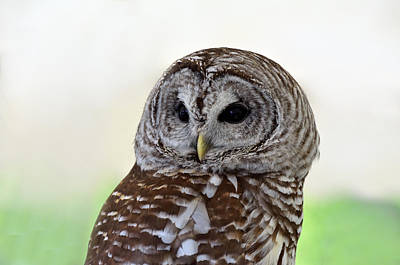 Photograph - Portrait Of A Barred Owl by Kathleen Stephens