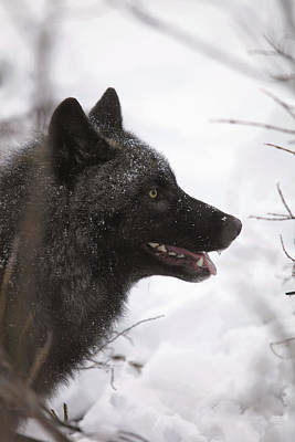 Portrait Of A Black Wolf, Eureka Pass Art Print by Calvin Hall