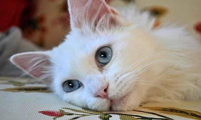 Turkish Van Cat Photograph - Portrait Of A Blue Eyed Van Cat by Tracey Harrington-Simpson