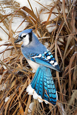Portrait Of A Blue Jay Art Print by Bill Wakeley