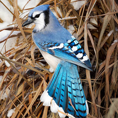 Portrait Of A Blue Jay Square Art Print by Bill Wakeley