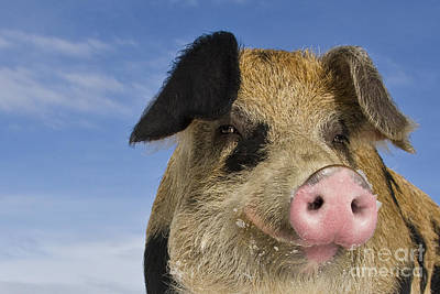 Photograph - Portrait Of A Boar by Jean-Louis Klein and Marie-Luce Hubert