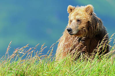 Portrait Of A Brown Bear  Portrait Art Print