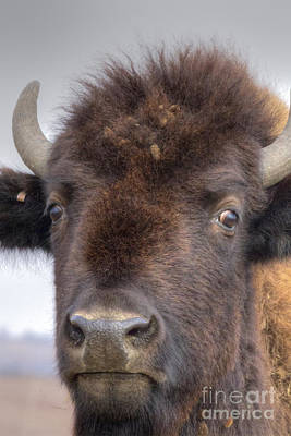 Wild Photograph - Portrait Of A Buffalo by David Cutts