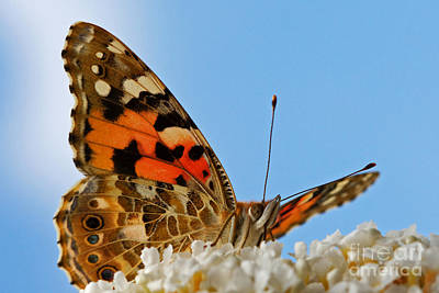 Photograph - Portrait Of A Butterfly by Nick  Biemans