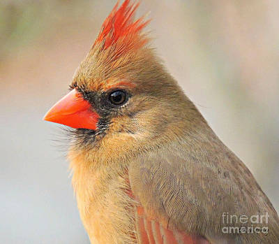Photograph - Portrait Of A Cardinal by Eve Spring