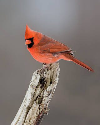 Portrait Of A Cardinal Art Print by Timothy McIntyre