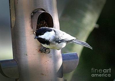 Photograph - Portrait Of A Chickadee by Erica Hanel