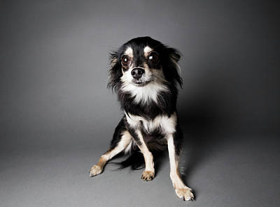 Photograph - Portrait Of A Chihuahua-papillon Mix - by Amandafoundation.org