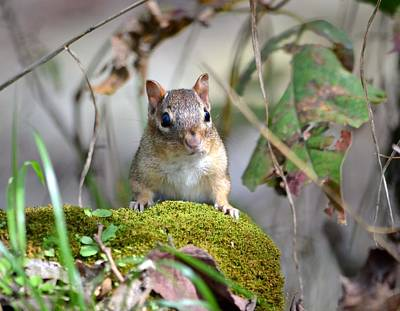 Photograph - Portrait Of A Chipmunk by Deena Stoddard