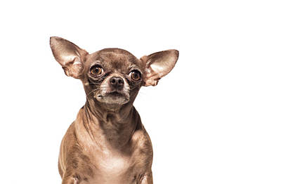 Photograph - Portrait Of A Chocolate Chihuahua - The by Amandafoundation.org