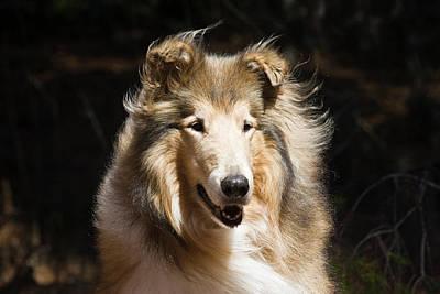 Scottish Dog Photograph - Portrait Of A Collie With Dark by Zandria Muench Beraldo