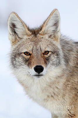 Photograph - Portrait Of A Coyote by Bill Singleton