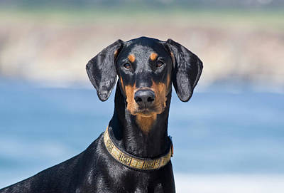 Doberman Pinscher Photograph - Portrait Of A Doberman Pinscher by Zandria Muench Beraldo