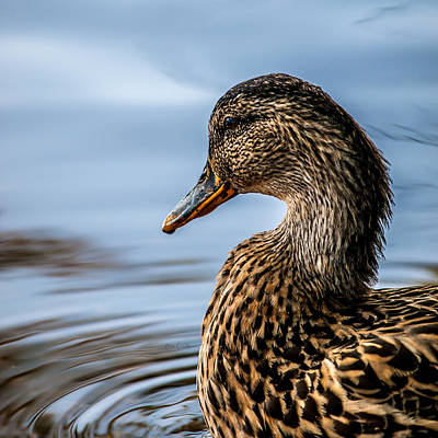 Framed Inspirational Wildlife Photograph - Portrait Of A Duck by Bob Orsillo