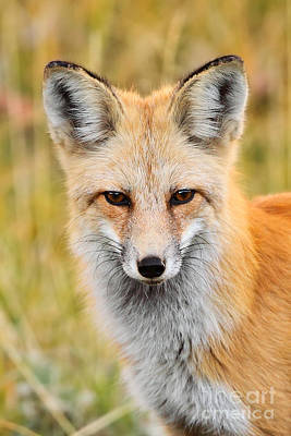 Photograph - Portrait Of A Fox by Bill Singleton