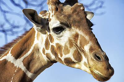 Photograph - Portrait Of A Giraffe by Jason Politte