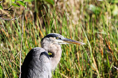 Photograph - Portrait Of A Great Blue by Katherine White