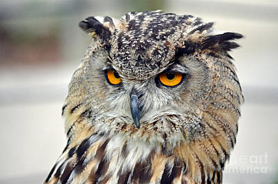 Photograph - Portrait Of A Great Horned Owl II by Jim Fitzpatrick