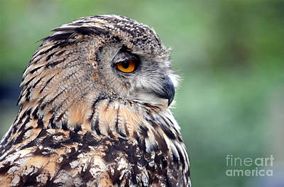 Photograph - Portrait Of A Great Horned Owl by Jim Fitzpatrick