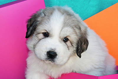 Pyrenees Photograph - Portrait Of A Great Pyrenees Puppy by Zandria Muench Beraldo