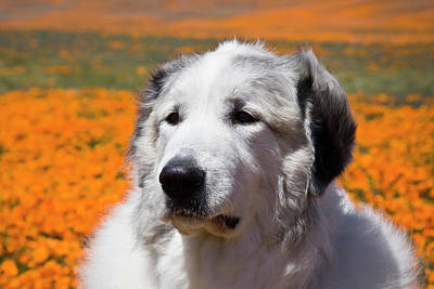 Pyrenees Photograph - Portrait Of A Great Pyrenees Standing by Zandria Muench Beraldo