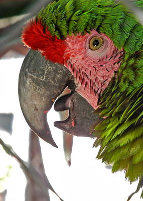Photograph - Portrait Of A Green Parrot by Kirsten Giving