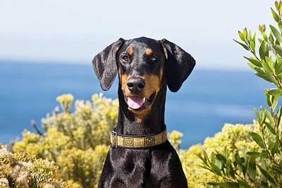 Doberman Pinscher Wall Art - Photograph - Portrait Of A Happy Doberman by Zandria Muench Beraldo