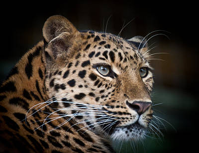 Photograph - Portrait Of A Leopard by Chris Boulton