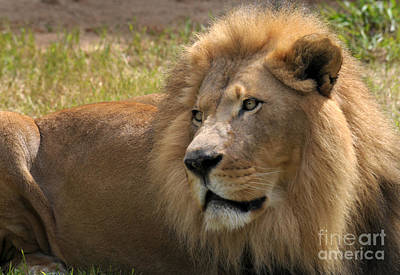 Portrait Of A Lion Print by Dan Holm