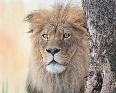 Animals Photos - Portrait of a Lion by Everet Regal