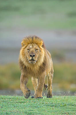 Portrait Of A Lion Walking In A Field Art Print by Panoramic Images