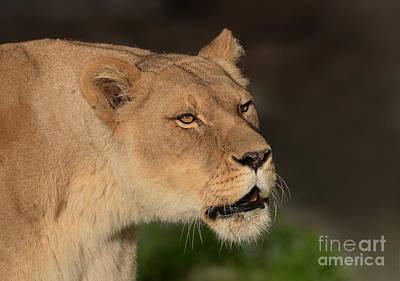 Photograph - Portrait Of A Lioness  by Jim Fitzpatrick