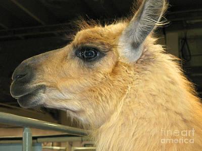 Photograph - Portrait Of A Llama by Connie Fox