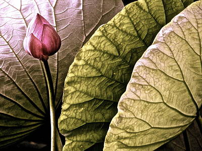 Photograph - Portrait Of A Lotus - 10 by Larry Knipfing