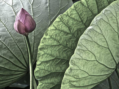 Photograph - Portrait Of A Lotus - 2 by Larry Knipfing