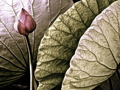 Photograph - Portrait Of A Lotus - 9 by Larry Knipfing