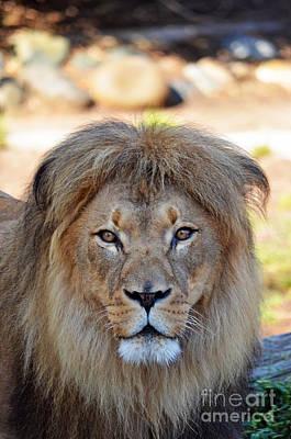 Photograph - Portrait Of A Male Lion by Jim Fitzpatrick