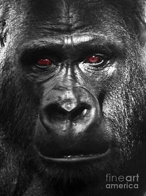 Portrait Photograph - Portrait Of A Male Siverback Gorilla by Jim Fitzpatrick