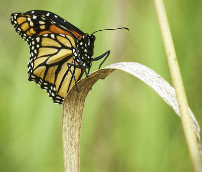 Portrait Of A Monarch Butterfly Print by Thomas Young
