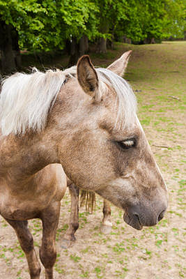 Photograph - Portrait Of A Palomino by Semmick Photo