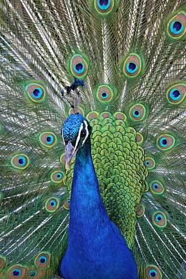 Photograph - Portrait Of A Peacock by Diane Alexander
