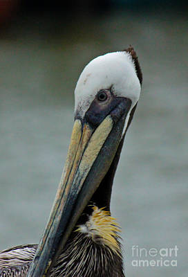 Portrait Of A Pelican Art Print